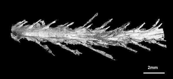 Hallan la primera cola de dinosaurio, perfectamente conservada en ámbar y con plumas - 2