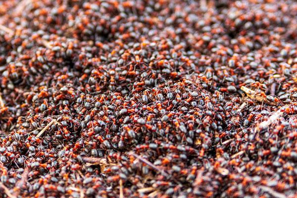 La colonia de hormigas más grande del mundo vive en Argentina - 1