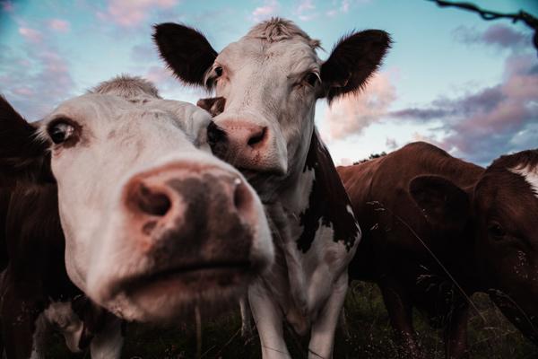 Estupor científico: las vacas abandonadas en Chernóbil se volvieron salvajes - 1