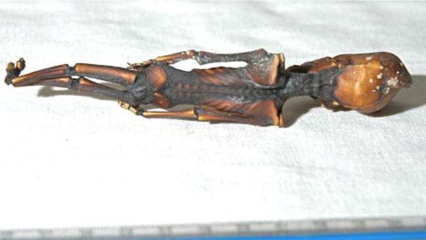 La increíble historia de la momia extraterrestre hallada en Chile - 3