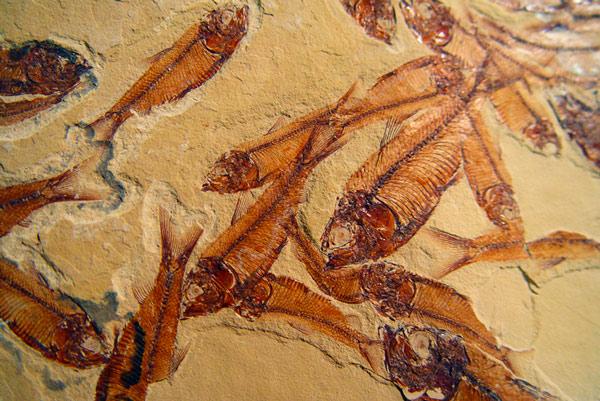Fósil de peces de la prehistoria.