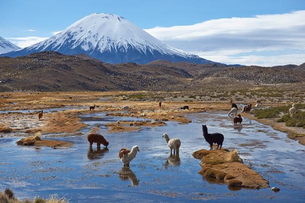 Bofedal andino con alpacas.