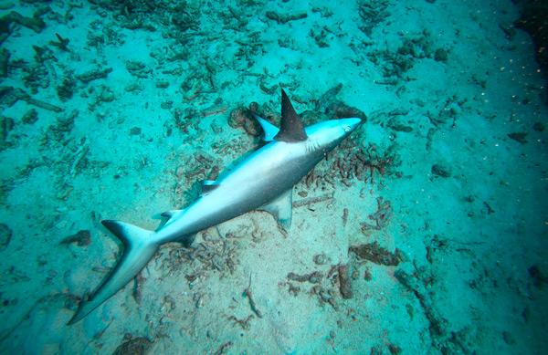 Tiburón sin vida encontrado bajo el agua en el océano