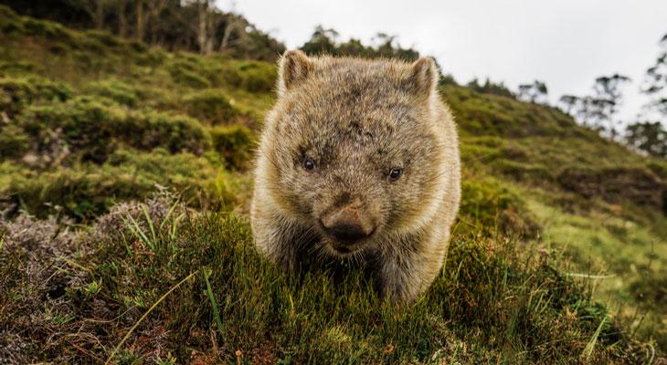 wombat-australia